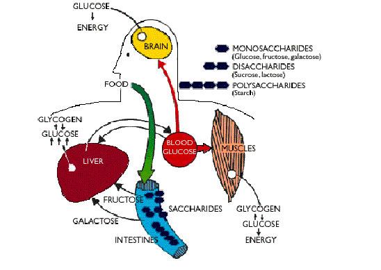 متابولیسم کربوهیدرات در بدن