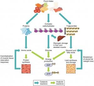 پروتئین مصرفی اضافی چه می شود ؟