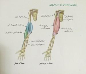 آناتومی عضله دو سر بازویی