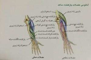 آناتومی عضلات باز کننده ساعد