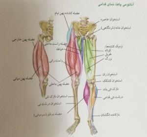 آناتومی پاها ، نمای قدامی