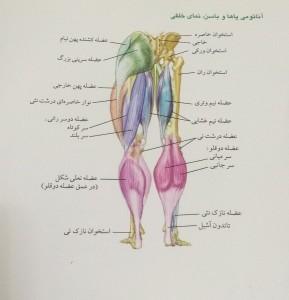 آناتومی پاها و باسن ، نمای خلفی