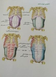 آناتومی دیواره شکم