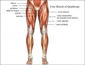 عضله چهار سر ران یا Quadriceps