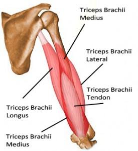 عضله سه سر بازویی یا Triceps