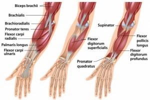 عضلات ساعد یا forearm